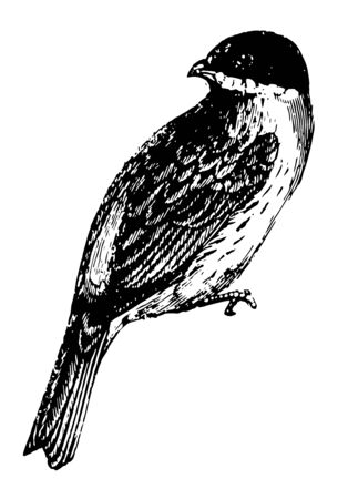 Reed Bunting build their nests on the ground, vintage line drawing or engraving illustration. Ilustração