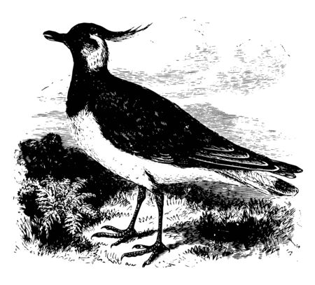 European Lapwing is both a winter and summer visitor as well as a resident wading bird in Britain and Ireland vintage line drawing or engraving illustration.