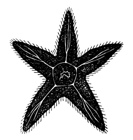 Diagram of a Radiata which is the starfish manifests one of the simplest forms of nervous systems vintage line drawing or engraving illustration.