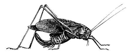 Oblong Leaf Winged Grasshopper that change color and behavior at high population densities are called locusts vintage line drawing or engraving illustration. Stock Illustratie