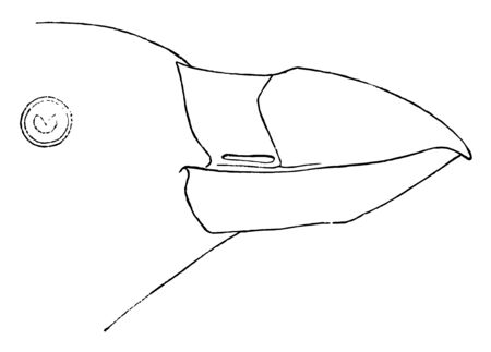 Tufted Puffin Bill which is Crests about 4 inches long vintage line drawing or engraving illustration.