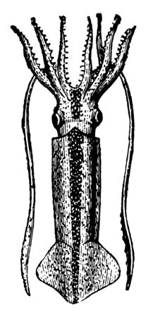 Loligo Gahi is a genus of squids and one of the most representative and widely distributed groups of myopsid squids vintage line drawing or engraving illustration.