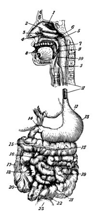 This diagram represents various Alimentary Canal vintage line drawing or engraving illustration.