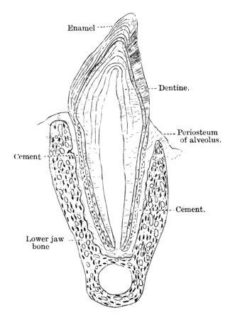 This illustration represents Premolar of a Cat vintage line drawing or engraving illustration. Vektorové ilustrace