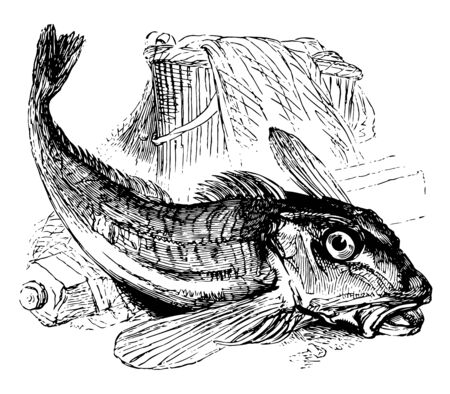 Gurnard are bottom feeding fish of the Triglidae family vintage line drawing or engraving illustration.