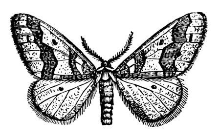 Male Winter Moth fly around on foggy evenings as late as November vintage line drawing or engraving illustration.