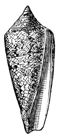 Conus Gloria Maris is especially rich in species as well as numerous individuals vintage line drawing or engraving illustration.
