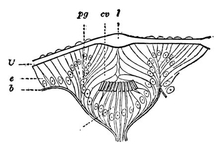 Eye of Gasteropod has epithelium covering body vintage line drawing or engraving illustration.