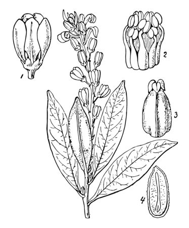 The process of flowering has been shown in this frame. It contains first flowers its seeds then buds and finally the seeds in those flowers vintage line drawing or engraving illustration.
