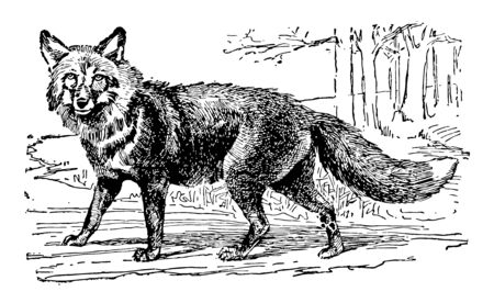 Red Fox is largest of the true foxes has the greatest geographic range of all members of the Carnivora order vintage line drawing or engraving illustration.