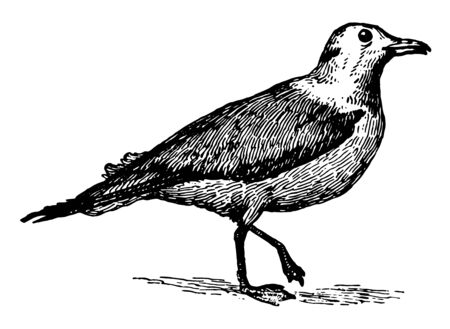 Kittiwake Gull is a sea gull characterized by the absence of the hind toe, vintage line drawing or engraving illustration.
