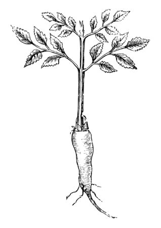 This illustration represents Root Grafting where good roots should be secured as stocks vintage line drawing or engraving illustration.