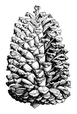 A full sketch of complete grown Cuban pine cone vintage line drawing or engraving illustration. Ilustração