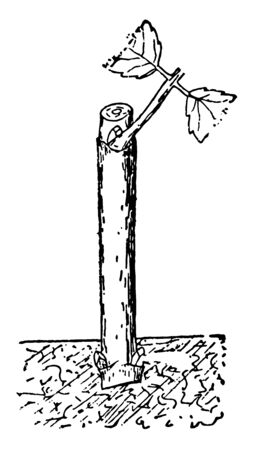 This illustration represents Dahlia Cutting which is a hardened wood cutting of dahlia vintage line drawing or engraving illustration.