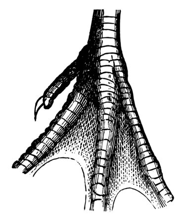 Half Webbed Foot of a Willet which is usually farther between the outer and middle vintage line drawing or engraving illustration.