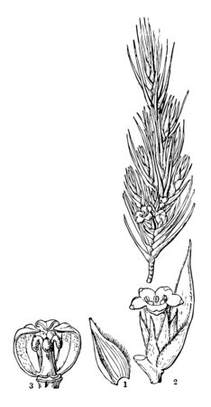 A picture having Dracophyllum Scoparium flower sepal seeds and seed vessels vintage line drawing or engraving illustration.