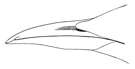 This image represents Common Guillemot Bill vintage line drawing or engraving illustration.