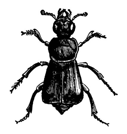 Necrophorus Germanicus which are honest undertakers vintage line drawing or engraving illustration.