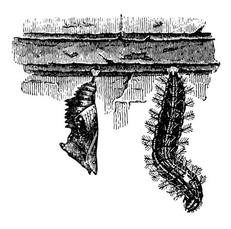Larva and Chrysalis of the Large Tortoise Shell Butterfly is ornamented with golden metallic spots vintage line drawing or engraving illustration.