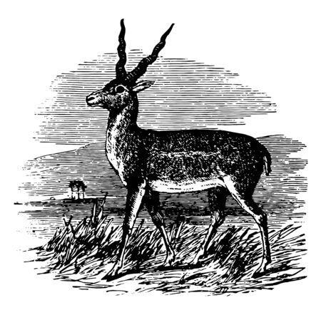 Sasin Antelope is abundant in the open dry plains of India vintage line drawing or engraving illustration.