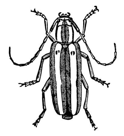 Longhorn Beetles are a cosmopolitan family of beetles vintage line drawing or engraving illustration.