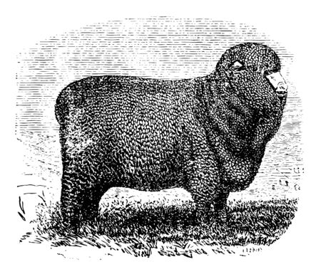 Spanish Merino Ewe is an economically influential breed of sheep prized for its wool vintage line drawing or engraving illustration.