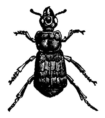 Necrophorus Vespillo which is of interest because in North America vintage line drawing or engraving illustration.