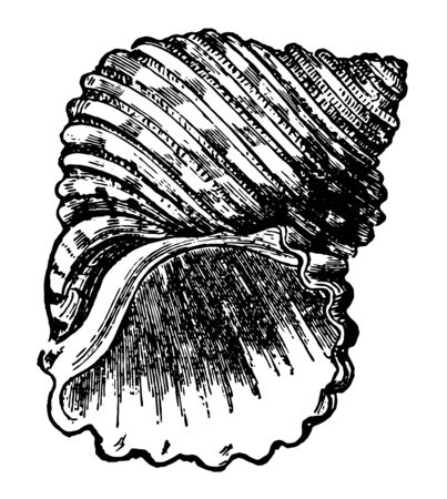 Turbo Margaritaceus is a large thick and weighty shell round bellied and deeply furrowed vintage line drawing or engraving illustration. Ilustracja