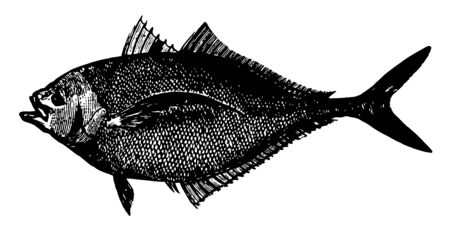 Atlantic Bumper is a game fish in the Carangidae family vintage line drawing or engraving illustration.