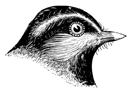 This image represents Mountain Chickadee vintage line drawing or engraving illustration.