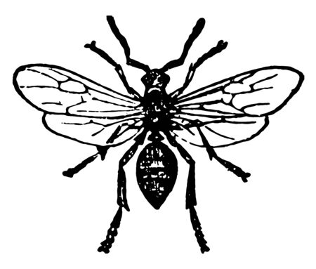 Red Wood Ant Male has wings and after pairing is allowed to stray away vintage line drawing or engraving illustration. Иллюстрация