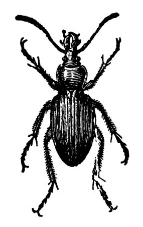 Golden Ground Beetle which lives on the larvae of other insects vintage line drawing or engraving illustration. Ilustração