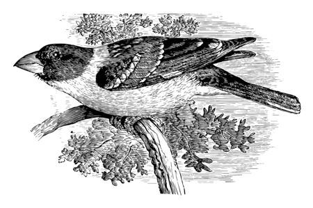 This illustration represents black headed Song Grosbeak vintage line drawing or engraving illustration.