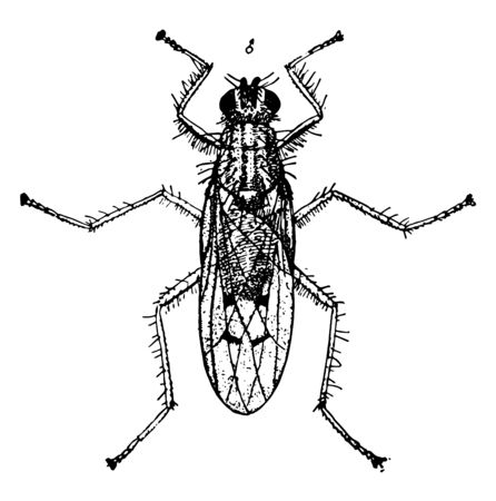 Dung Fly is a small family of Muscoidea vintage line drawing or engraving illustration.