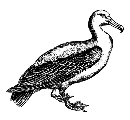 Albatrosses of the biological family Diomedeidaelarge seabirds allied to the procellariidsvintage line drawing or engraving illustration.
