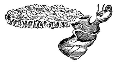 Violet Snail is a floating sea slug, vintage line drawing or engraving illustration.