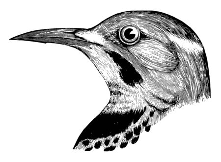 Flicker with golden shafts and glossed with golden underneath vintage line drawing or engraving illustration.