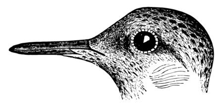 This image represents Buff breasted Sandpiper vintage line drawing or engraving illustration. Illustration