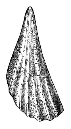 Pinna Bullata which the Roman soldiers attached to their helmets vintage line drawing or engraving illustration.