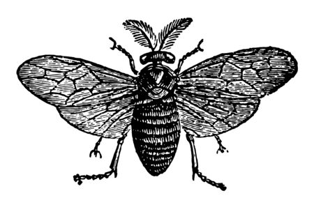 Saw Fly which devours the leaves of pine trees vintage line drawing or engraving illustration. Standard-Bild - 132818493