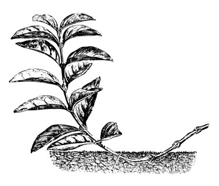 This illustration represents Layering by Tonguing or Heeling which is a process of Plant Propagation vintage line drawing or engraving illustration. 向量圖像