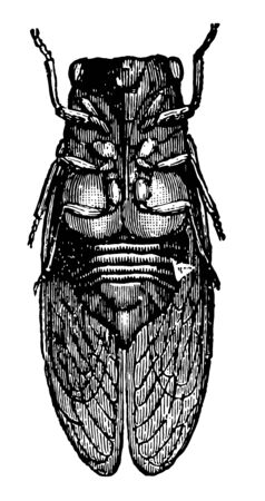 Male Cicada only males sing vintage line drawing or engraving illustration.