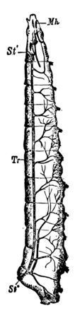 Tracheal System of Fly Larva in which longitudinal stem of right side vintage line drawing or engraving illustration.