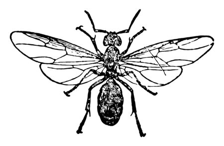 Horse Ant Female which are the largest in size vintage line drawing or engraving illustration.