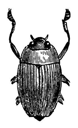 Epinectus Sulcatus which is a larger species from Brazil vintage line drawing or engraving illustration.