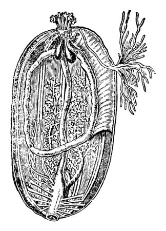 Sea cucumbers scientific name is Holothuroidea. These are ocean dwellers & generally live on or near the ocean floor. Illustration shows Sea cucumber interior view, vintage line drawing or engraving illustration.