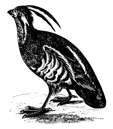 Mountain Quail has Back wings and tail olive brown vintage line drawing or engraving illustration. Ilustrace