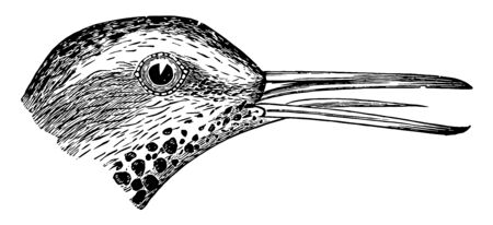 Spotted Sandpiper with a coppery lustre and finely varied with blackish vintage line drawing or engraving illustration. Illustration