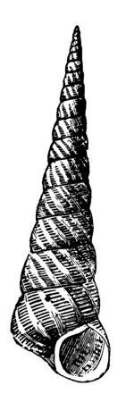 Turritella Sanguinea having fluted spirals others rounded angular or flat vintage line drawing or engraving illustration. Иллюстрация