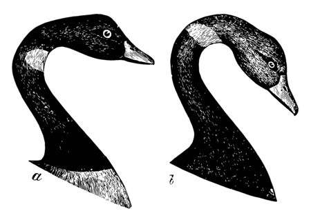 Black Brant Head is fading on the belly and crissum into white vintage line drawing or engraving illustration.